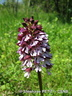 OrchisPourpre-StephanePetit-CSNB